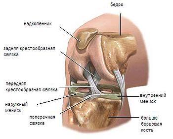Мениски коленного сустава представляют собой хрящевые образования, полулунной формы
