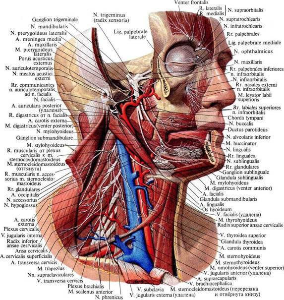 Нервы, сосуды головы и шеи