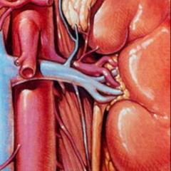 Почечная артерия человека