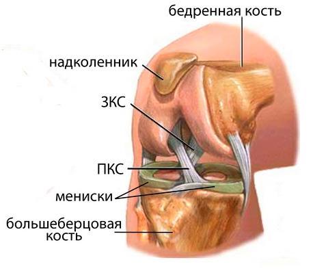 Схема коленного сустава и менисков