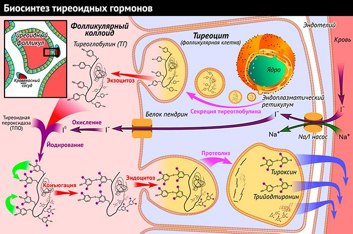 Биосинтез тиреоидных гормонов щитовидной железы