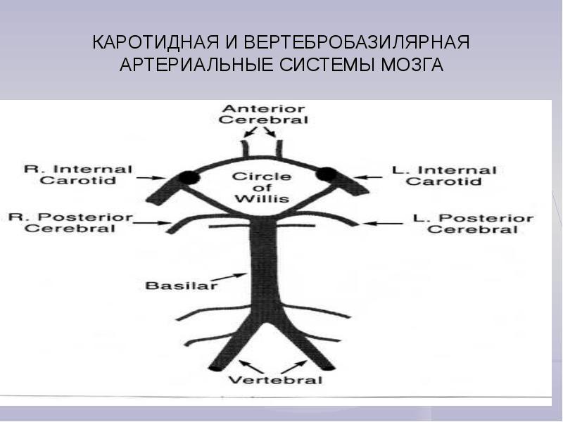 Каротидная и вертебробазилярная артериальные системы мозга