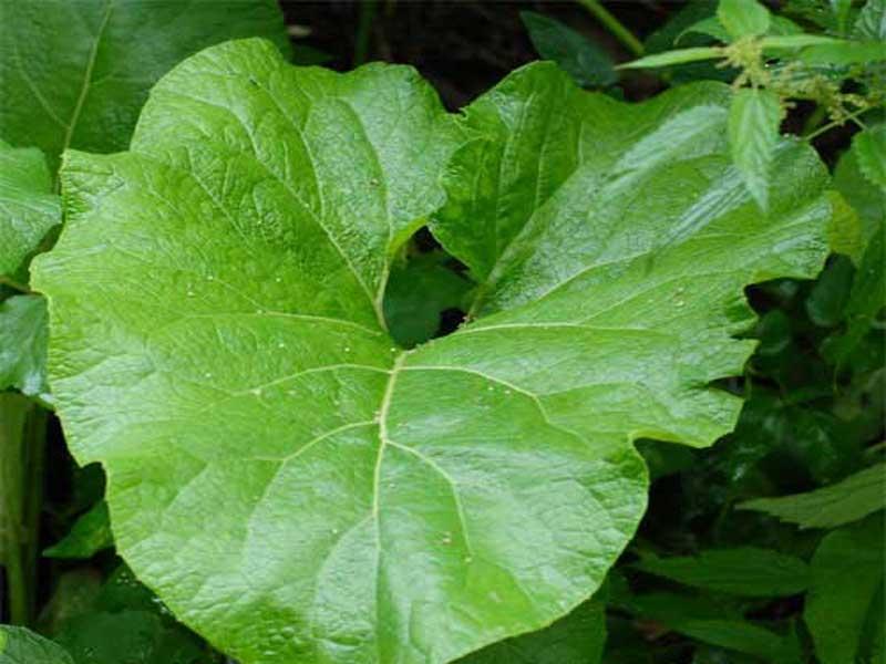 Лопуха листья