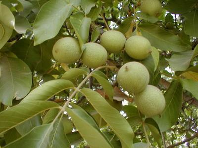 Ореховые листья