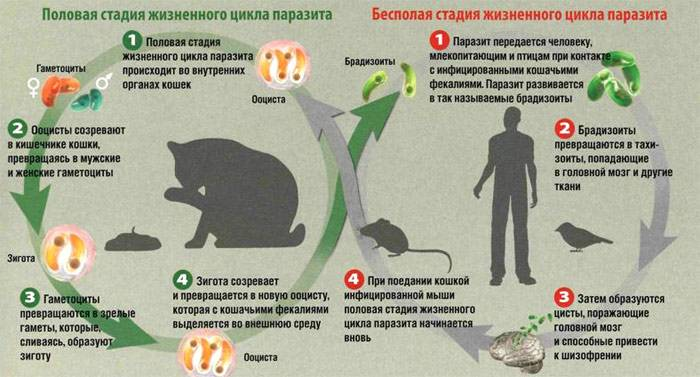 Жизненный цикл токсоплазмы