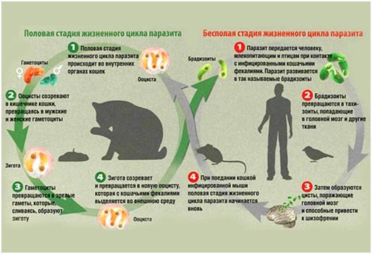 Жизненный цикл токсоплазмоза