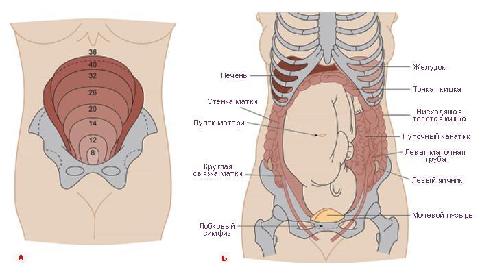 Изменение размеров матки - одна из причин болей в животе