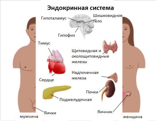 Органы гормональных нарушений