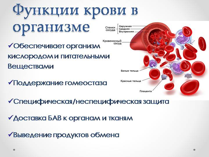 Функции крови в организме человека
