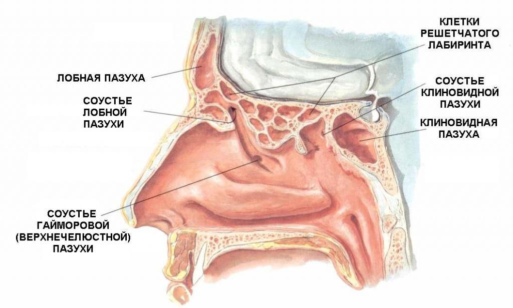 Как устроен нос человека