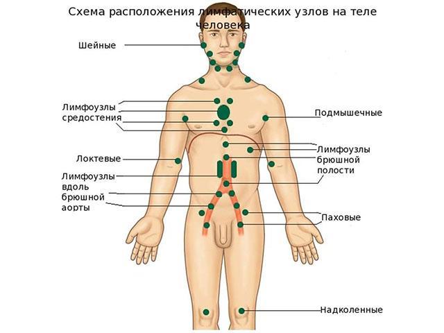 Схема расположения лимфатических узлов на теле человека