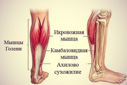 Ахиллово сухожилите - анатомия