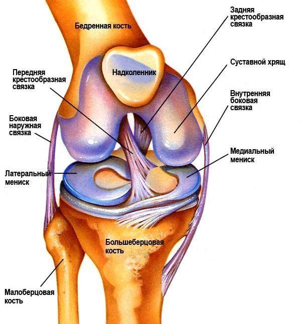 Коленный сустав анатомия