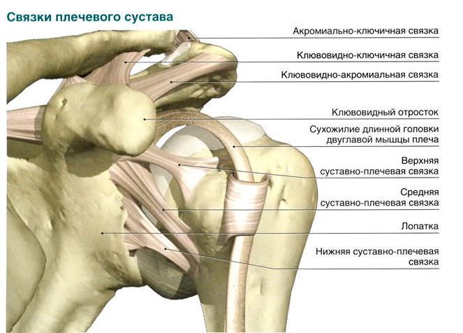 Связки плечевого сустава