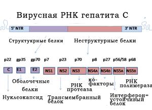 Вирус гепатита С (HCV, ВГС)