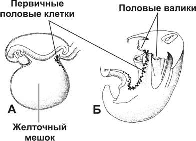 Первичные половые клетки