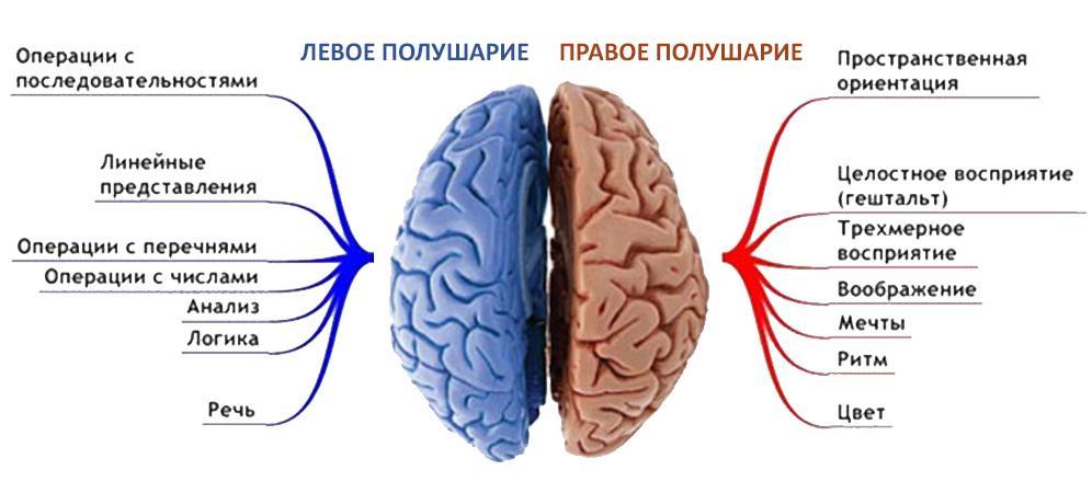 Функции полушарий в зависимости от стороны