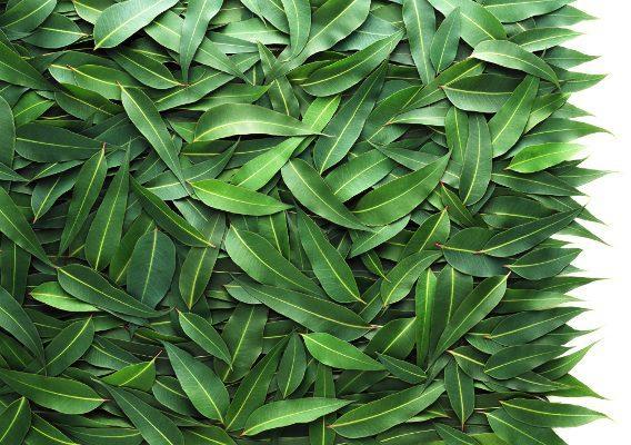 Листья эвкалипта быстро восстанавливают дыхательную функцию