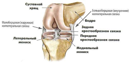 Схема связок коленного сустава