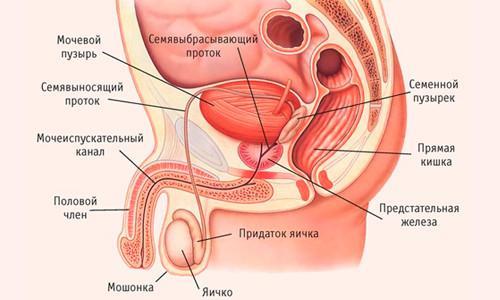 Устройство мочеполовой системы мужчины