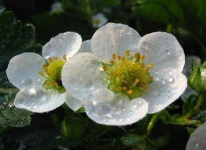 Цветы земляники