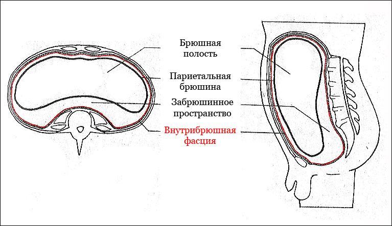 Анатомические особенности строения брюшной полости