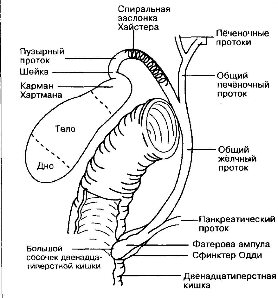 Изображение схематичное сфинктера Одди