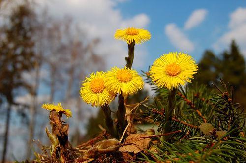 Растение Мать-и-мачеха