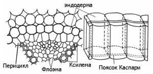 Эндодерма (внутренний)