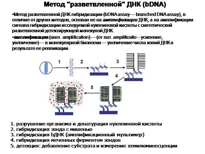 """Метод """"разветвленной"""" ДНК (bDNA)"""