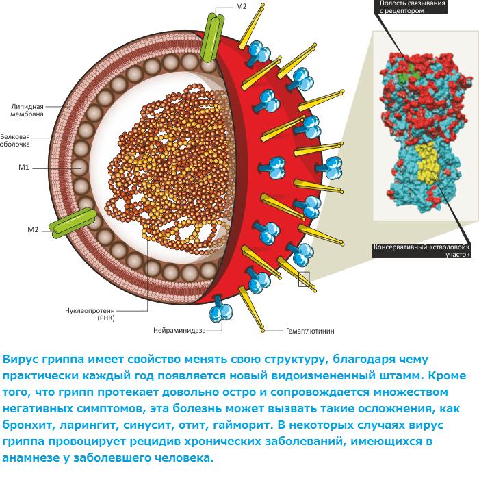 Схема строения вируса гриппа