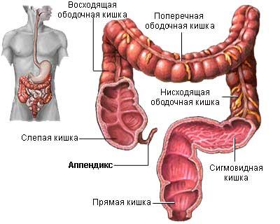 Аппендикс в организме человека
