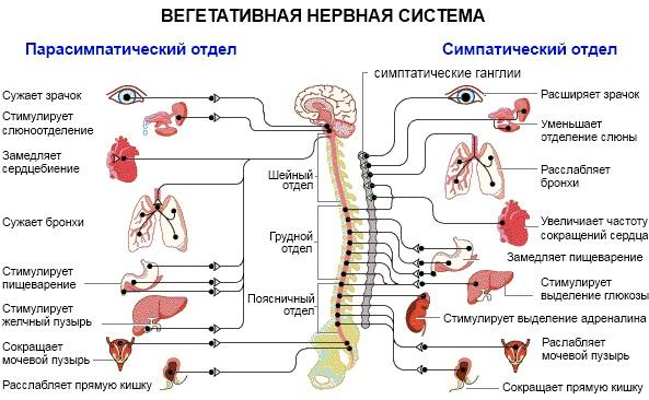 За что отвечает вегетативная нервная система