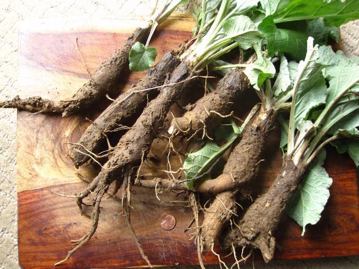 Настой из корня лопуха уменьшает количество вырабатываемой мочи
