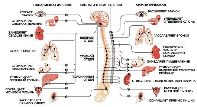 Строение вегетативной системы