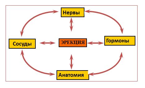 Механизм развития эректильной дисфункции