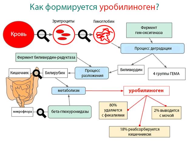 Как формируется уробилиноген