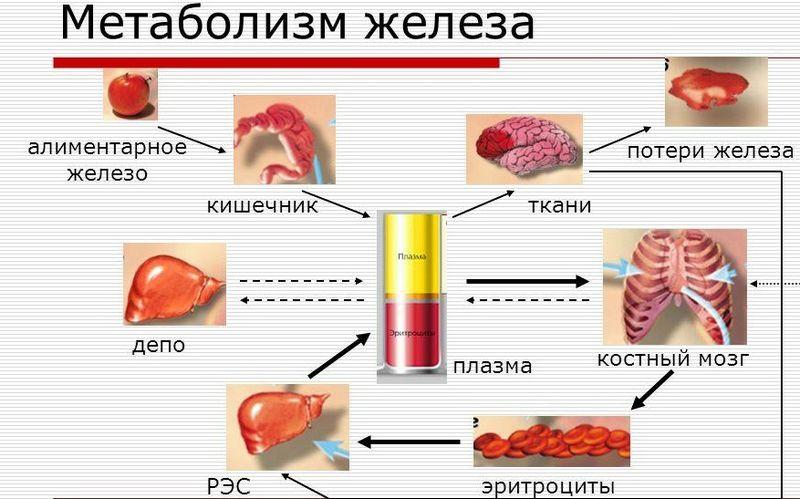 Метаболизм желез в организме