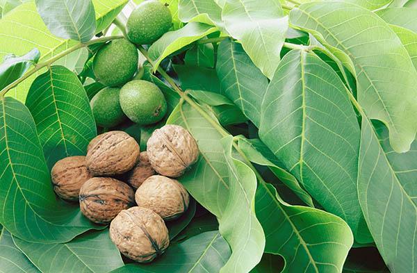 Листья грецкого ореха - эффективный помощник в лечении гайморита