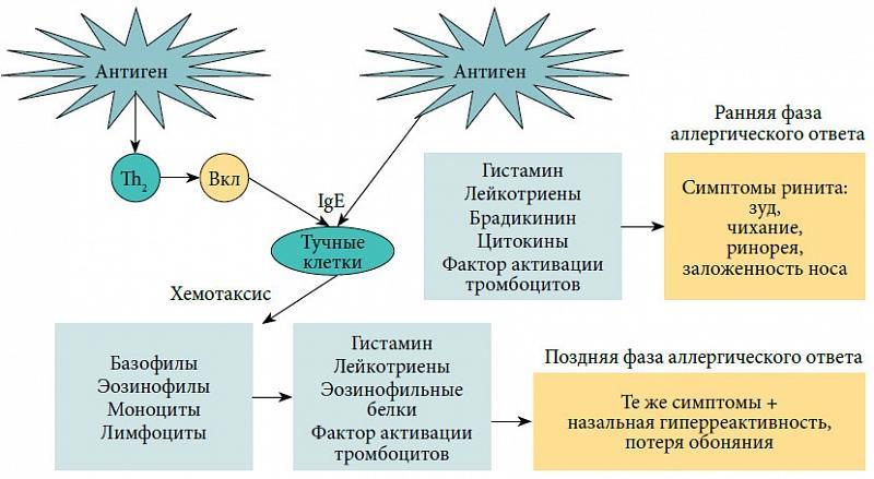 Патогенез аллергического ринита