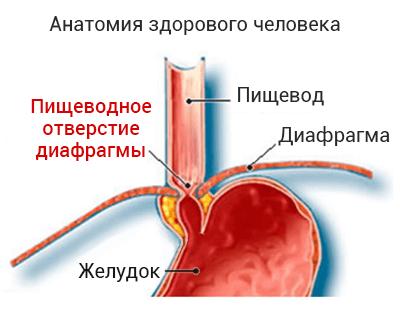 Анатомия здорового человека