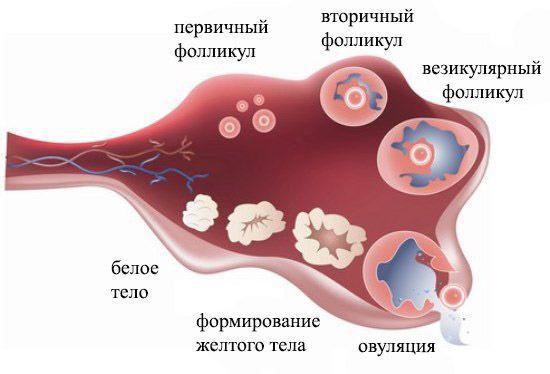 Выход зрелой яйцеклетки из фолликула