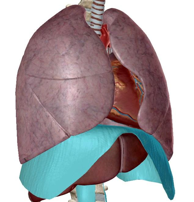 Диафрагма (грудобрюшная преграда) представляет собой мышечную перегородку между полостью груди и брюшной полостью