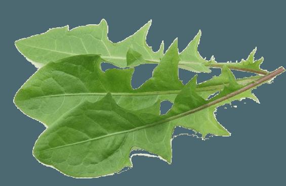 Листья одуванчика