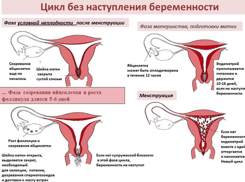 Менструальный цикл без наступления беременности