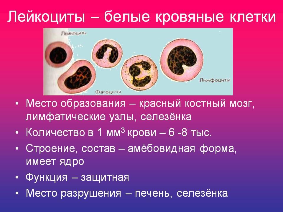 Места образования лейкоцитов