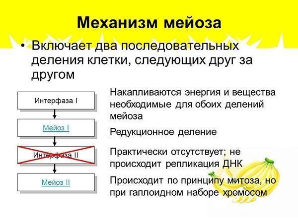 Механизм мейоза