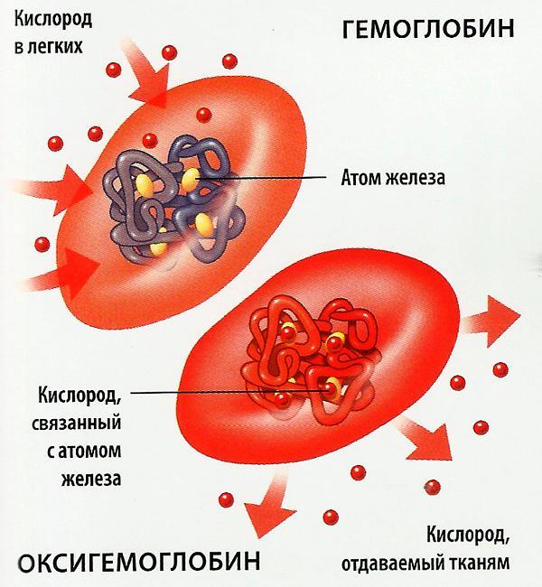 Основная функция эритроцитов — транспортировка кислорода и углекислого газа