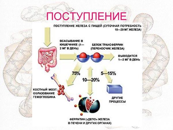 Поступление железа в организм