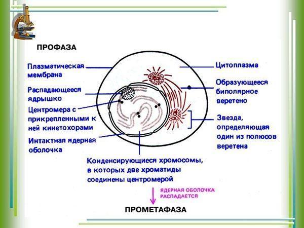 Профаза